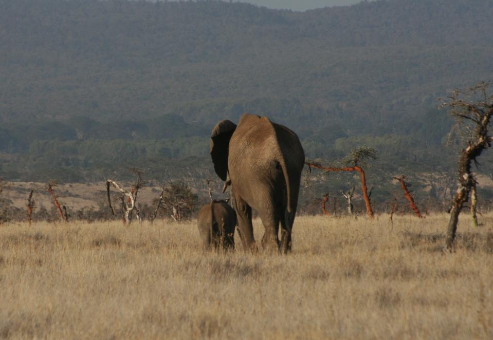 Kenya.  Wildlife.  African elephants.
