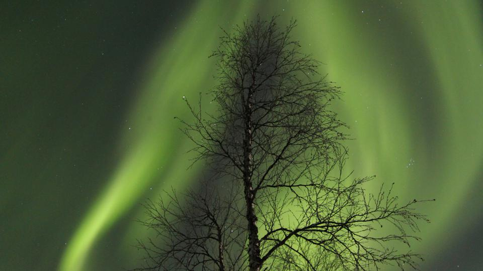 The northern lights around a tree, Finland.
