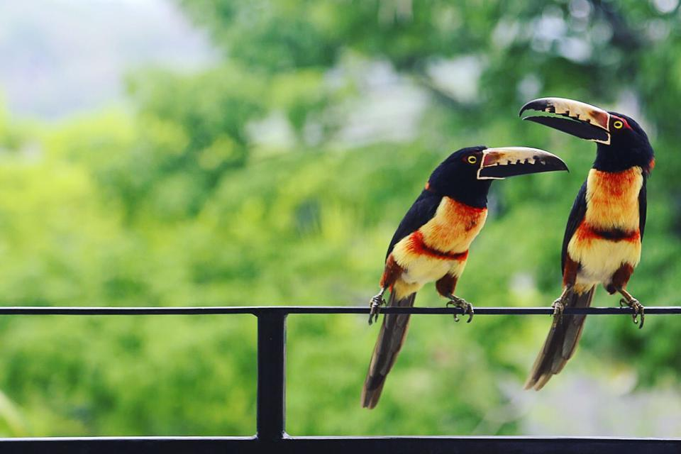 Two aracari perched on a balcony