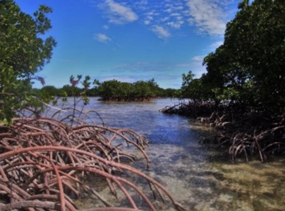 Mangroves and corals