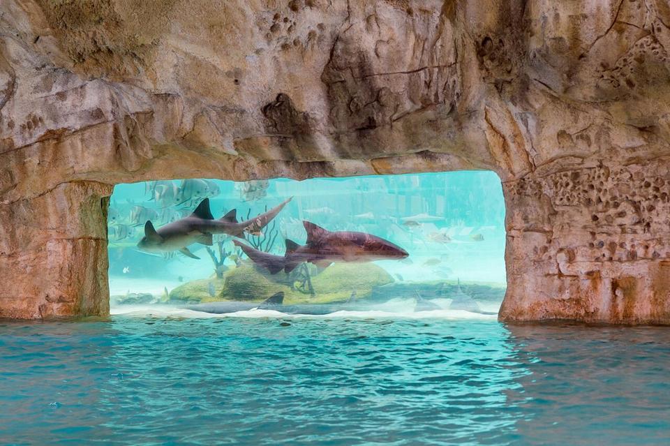 Nurse sharks swimming in an aquarium.