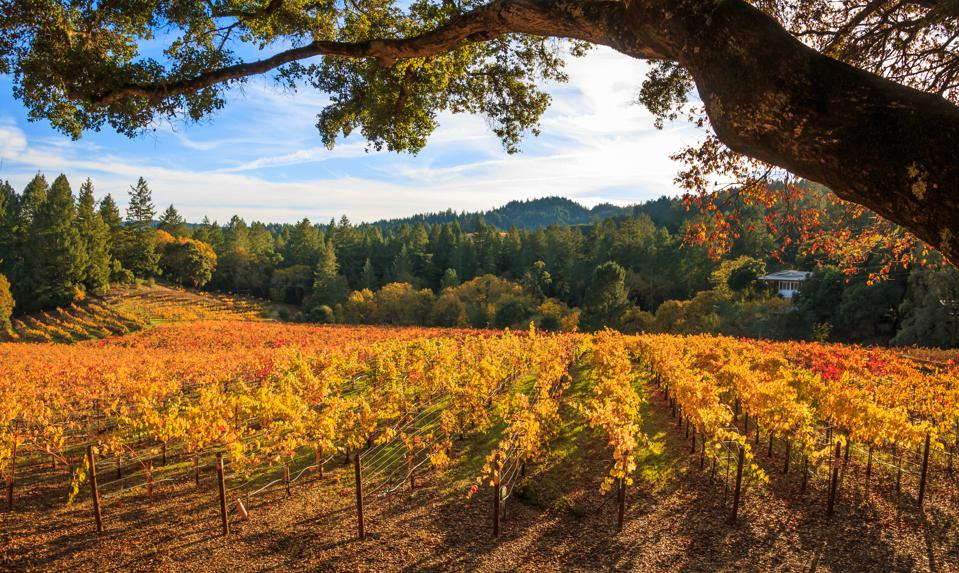 Panoramic of a Vineyard in Late Afternoon