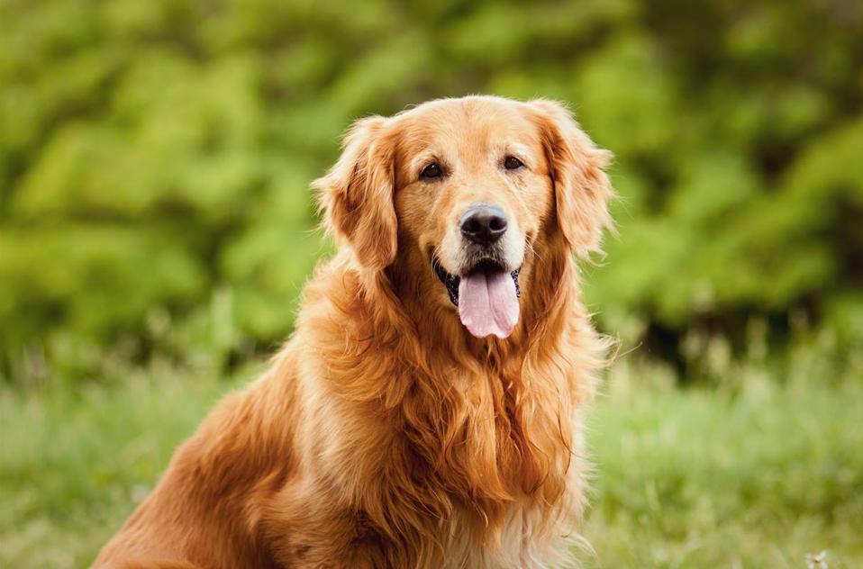 Hotel Fairmont Millennium Park Canine Ambassador, Chinook