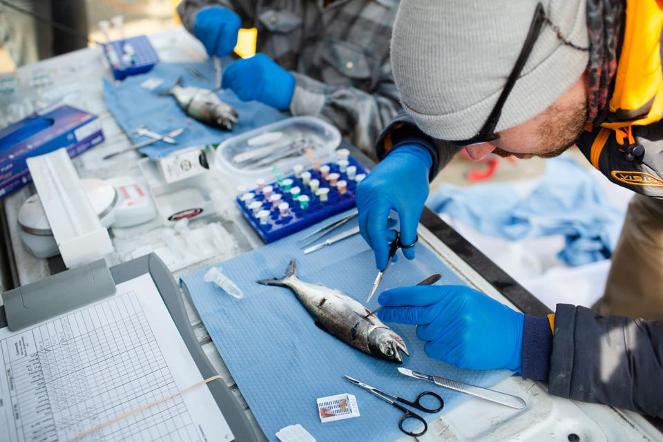 Scientists Discover Three New Viruses That Infect Endangered Salmon