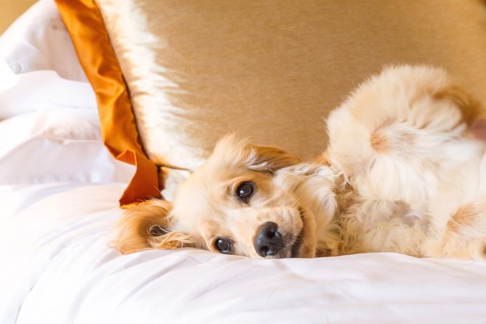 dog sleeping on bed at Regent Singapore