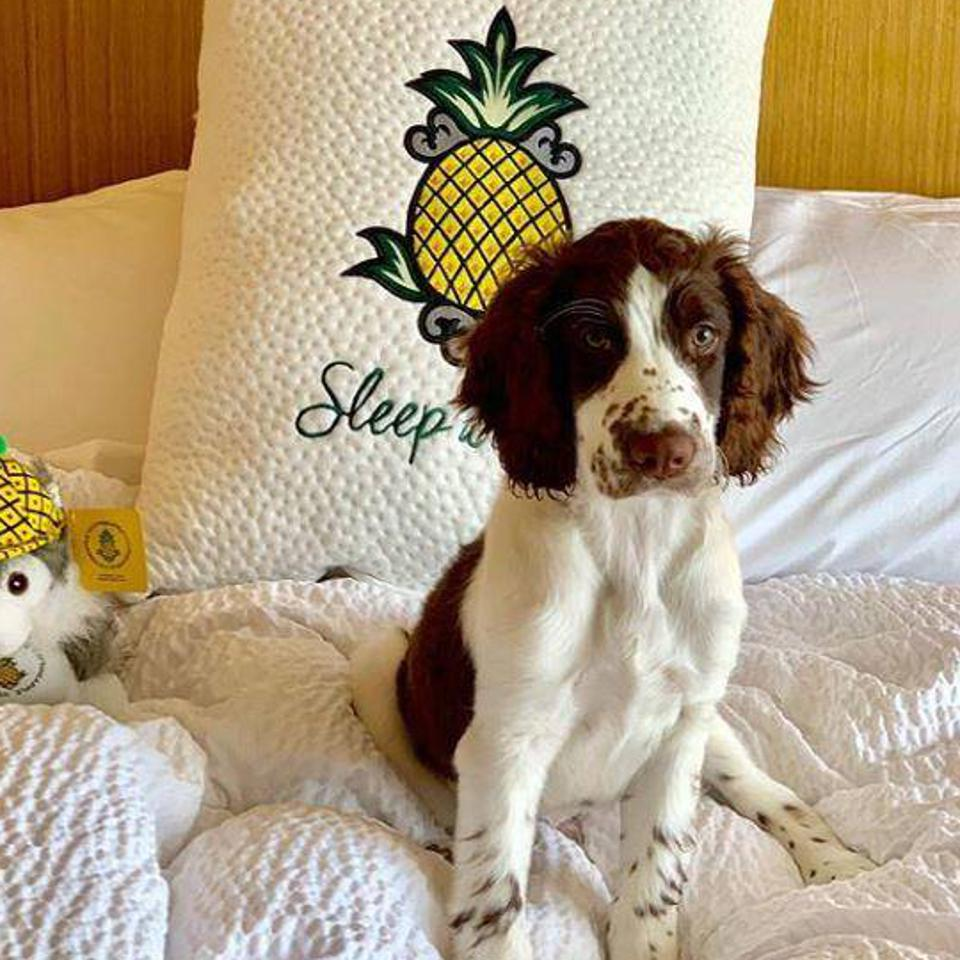 dog on hotel bed with pineapple motif