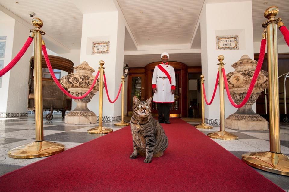 cat in hotel red carpet