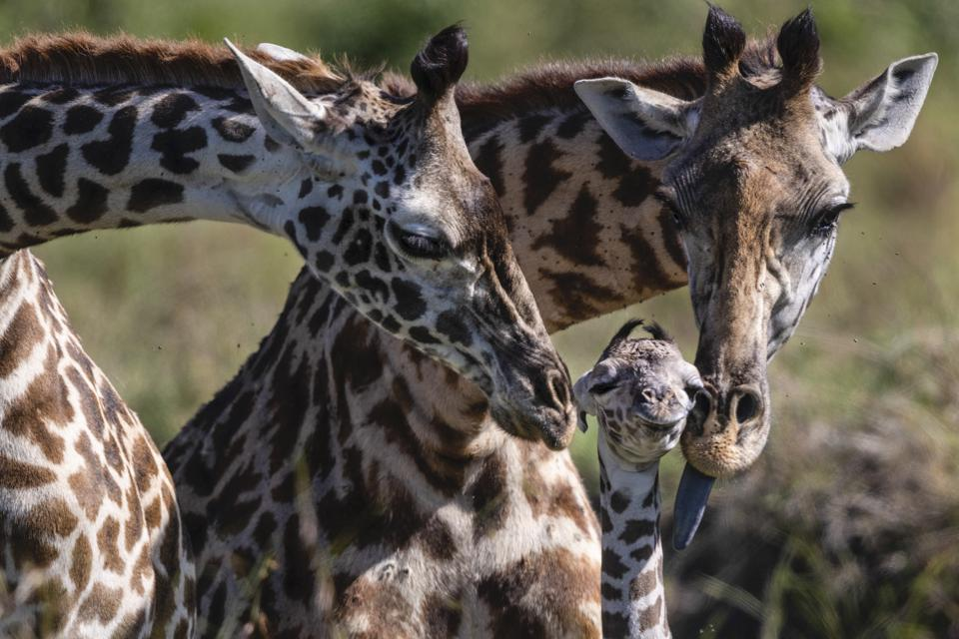 Basecamp Explorer giraffes.