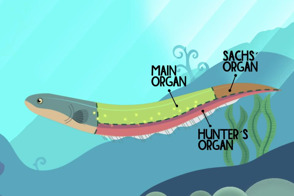 The three electricity-producing organs in an electric eel, from Ted-Ed.