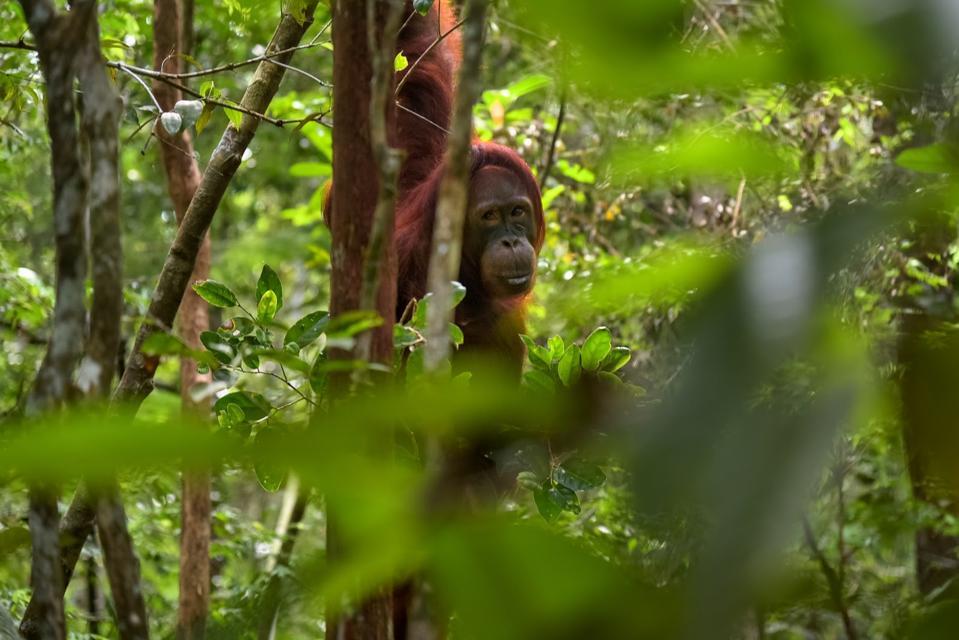 Taman Nasional Tanjung Puting, Waringin Barat, Tlk. Pulai, Kumai, Kabupaten Kotawaringin Barat, Kalimantan Tengah 74181, Indonesia