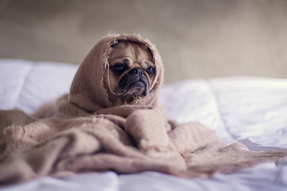 pug in blanket on bed