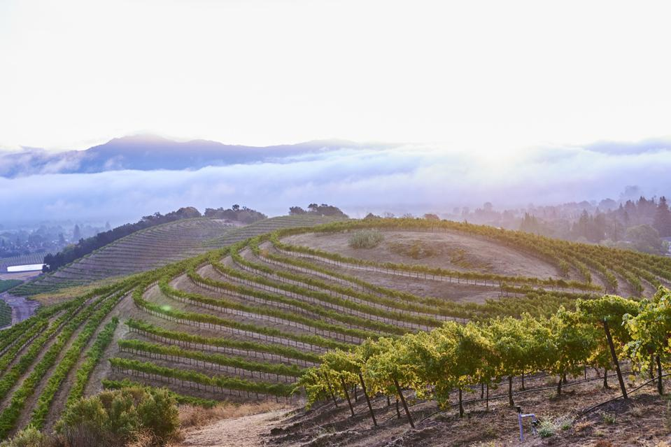 As one of the first French-owned sparkling wine ventures in the U.S., Chandon's vineyards are considered to be among the best for producing quality sparkling wines in California.