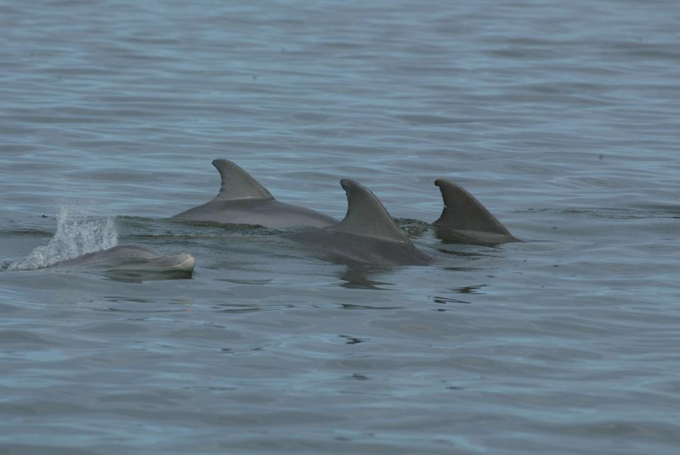 Wild Bottlenose dolphins (Tursiops truncatus) swimming in Florida's Indian River Lagoon.
