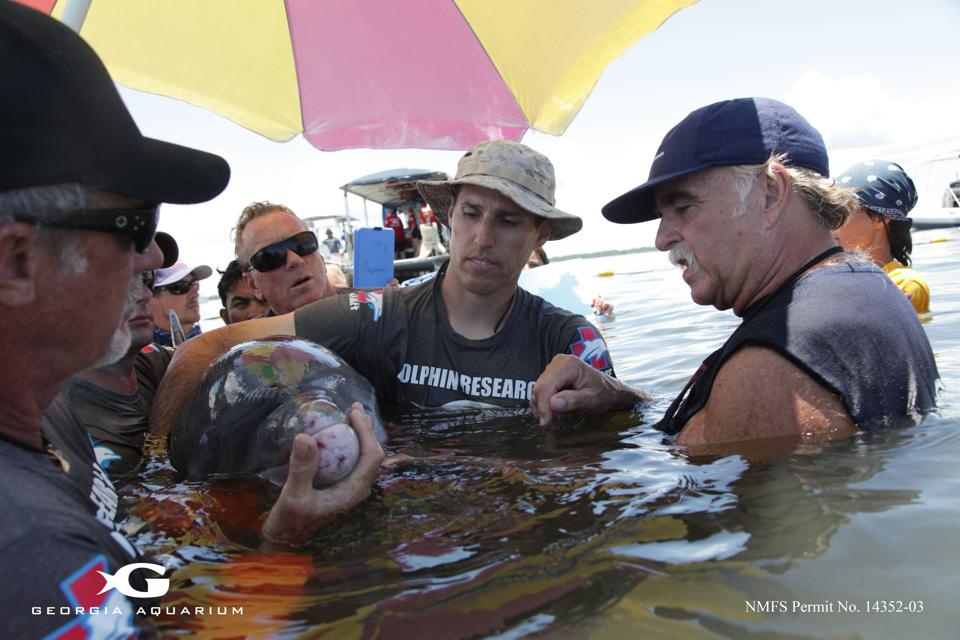 Dr. Gregory Bossart (right) examines a dolphin during the Health and Environment Risk Assessment (HERA) project alongside colleagues.
