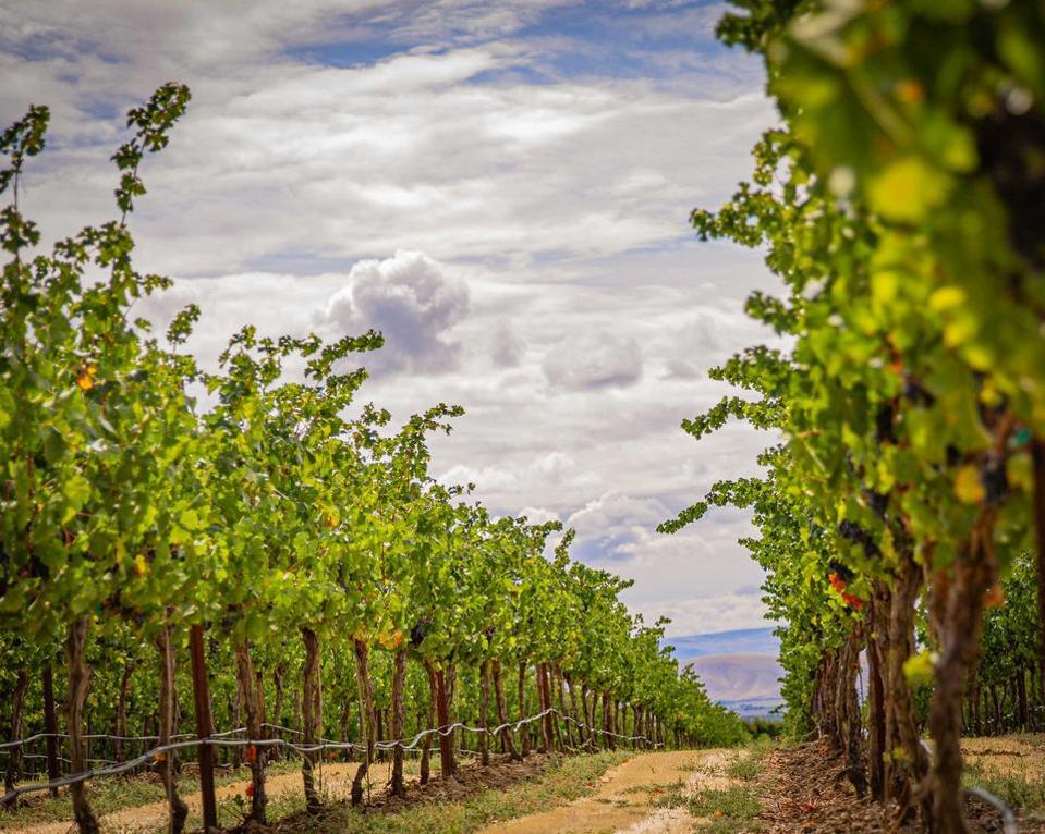 Scenic Zillah vineyard