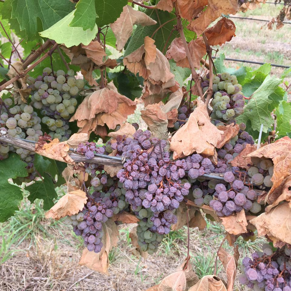 Cordon Cut Grapes 2016