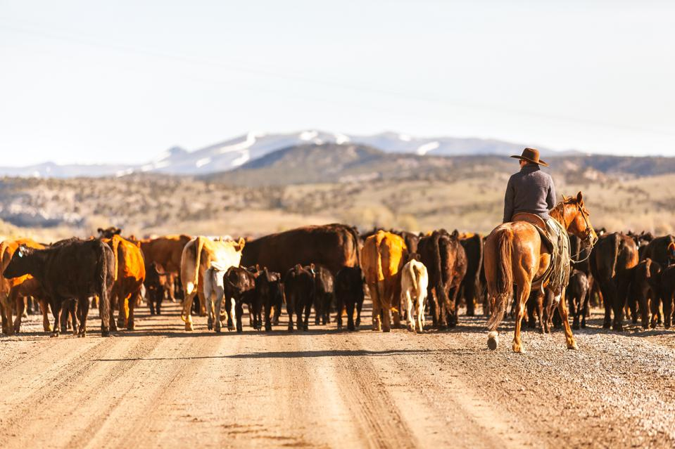 Cattle on the ranch