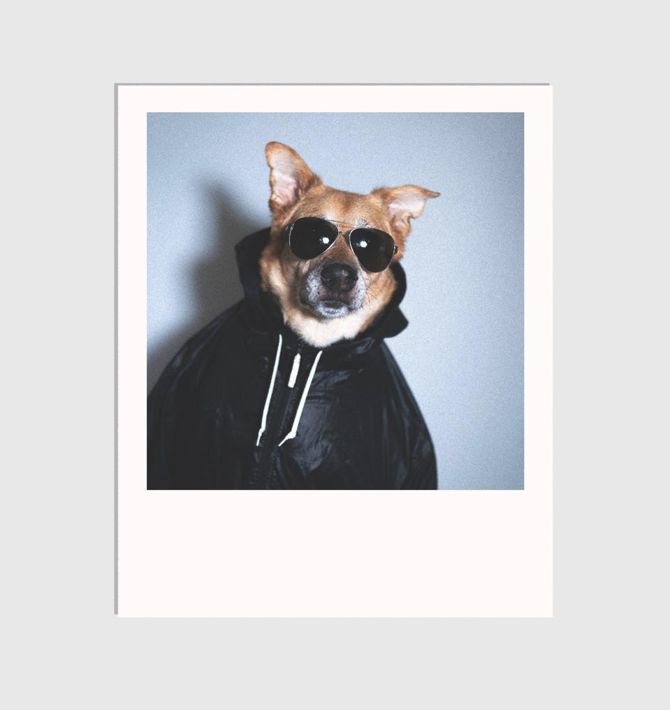 dog in jacket and sunglasses