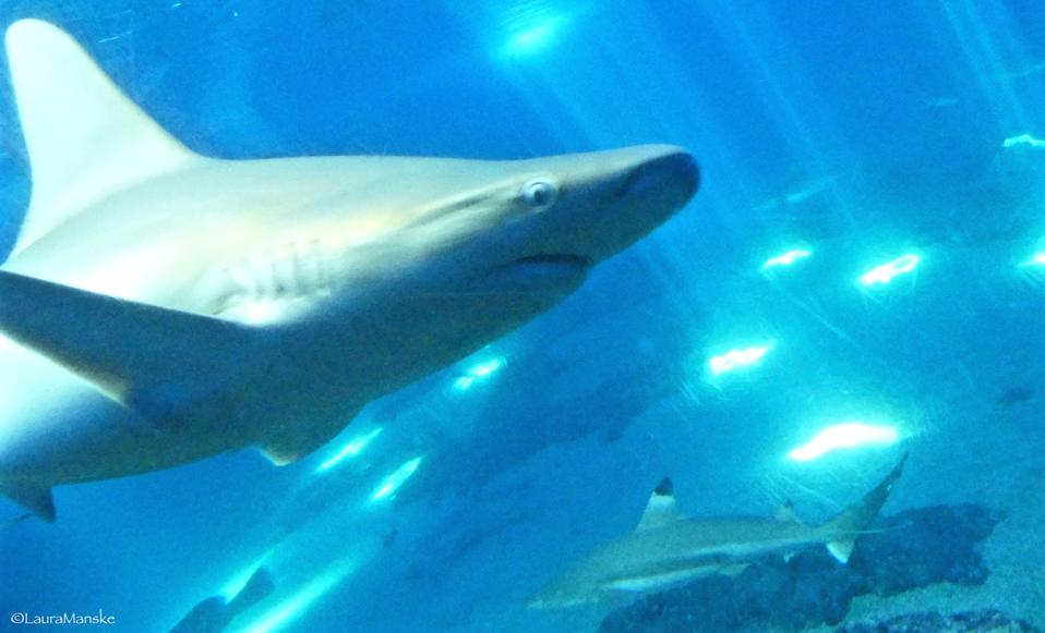 Maui Ocean Center, žraloky