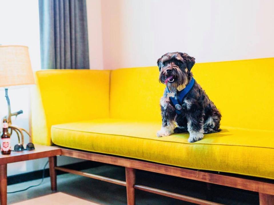 dog on yellow sofa