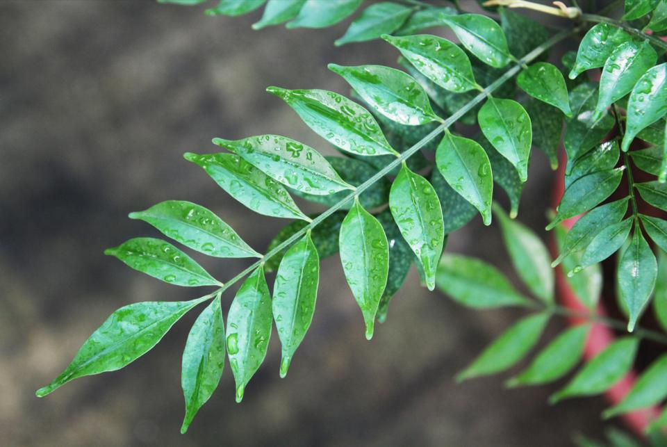 Biodiversity is not only sustainable but also economically beneficial. The Aglaia stellatopilosa tree produces silvestrol, an anti-cancer and antiviral compound important for therapeutic purposes.