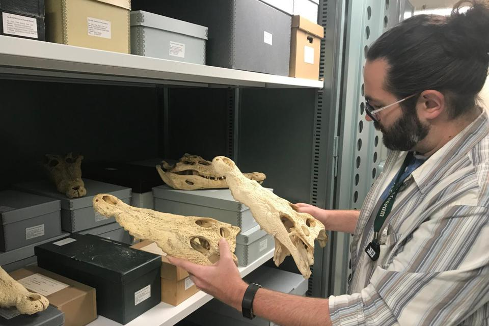 Color photo of a zoologist standing next to a shelf full of crocodile skulls and boxes, holding two crocodile skulls.