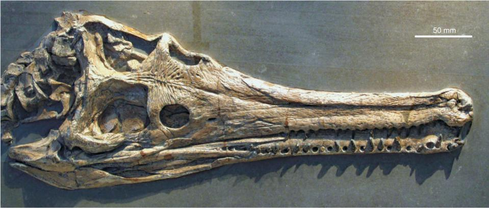 Photo of a fossil crocodile skull on a gray background.