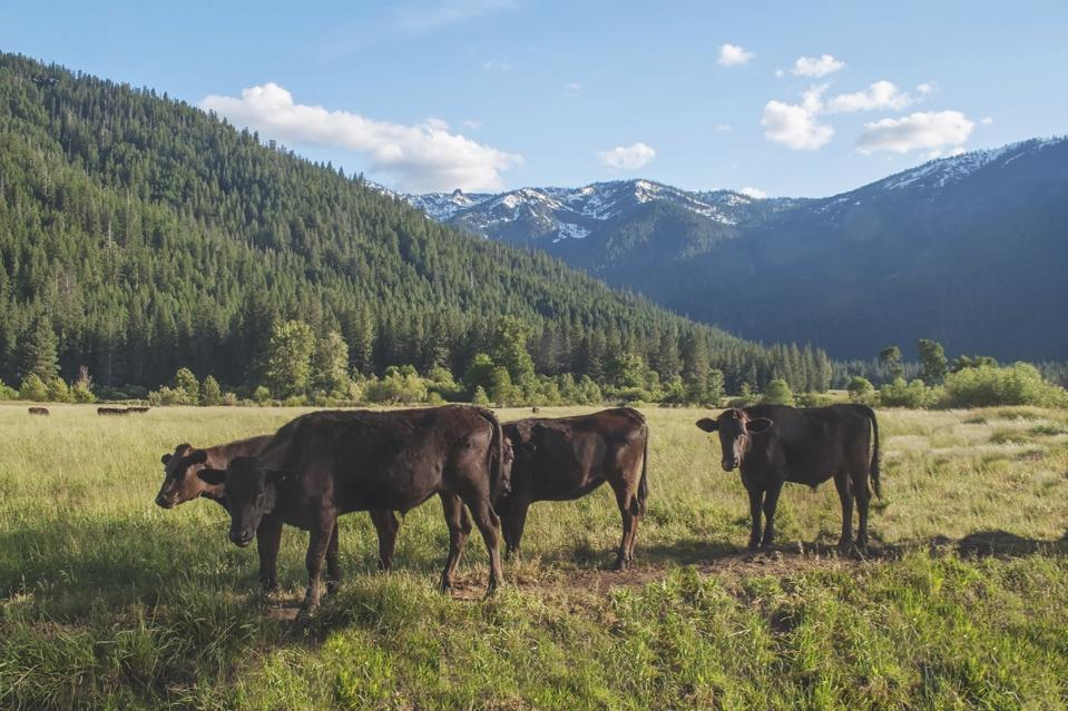 Four Wagyu cows on Genesee Valley Ranch