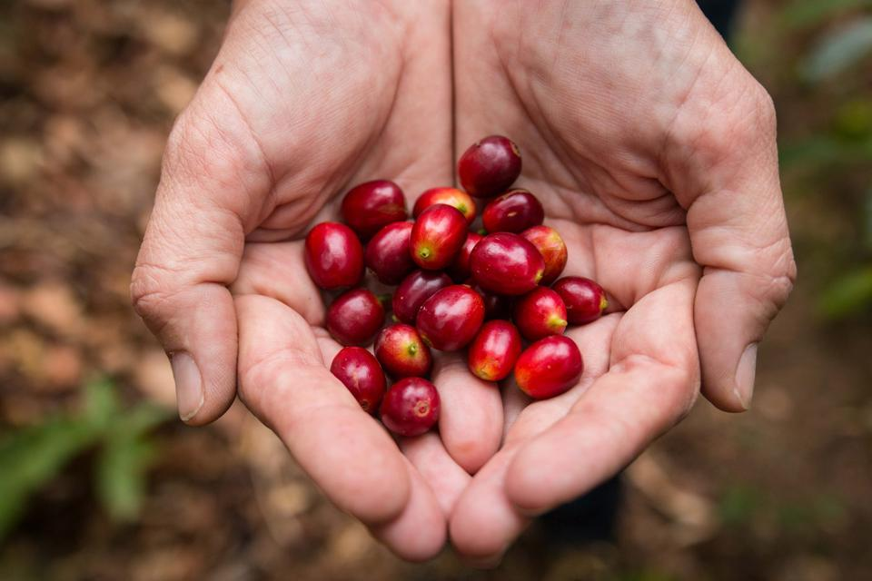 Coffee Cherries from Panama.