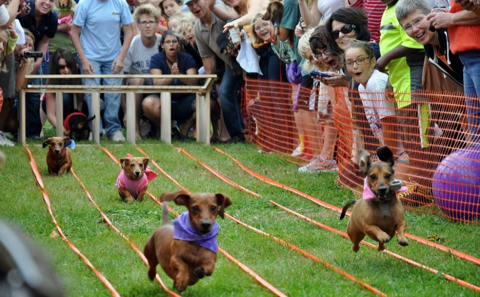 Dogs racing at the Dachshund Derby