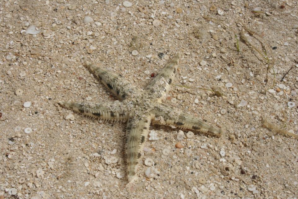 Fiji.  Turtle Island.  Starfish.