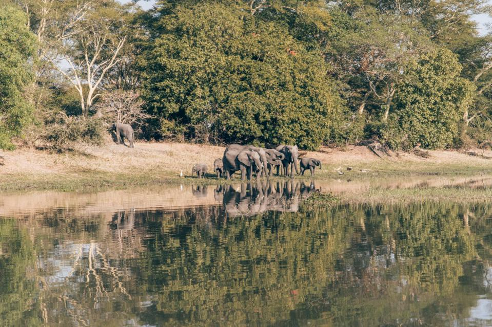 Malawi - A group of elephants drinking water on the Shire River