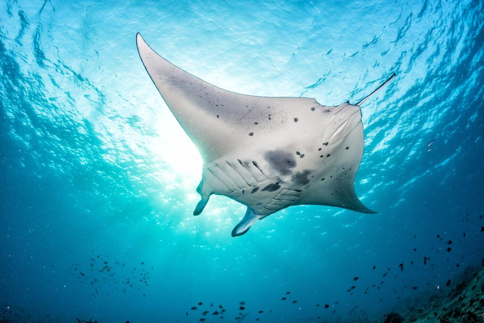 manta ray swimming