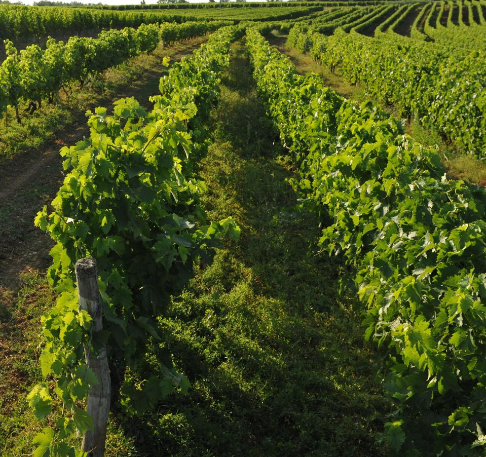 The town of Cognac is surrounded by vineyards that grow grapes for the Cognac industry