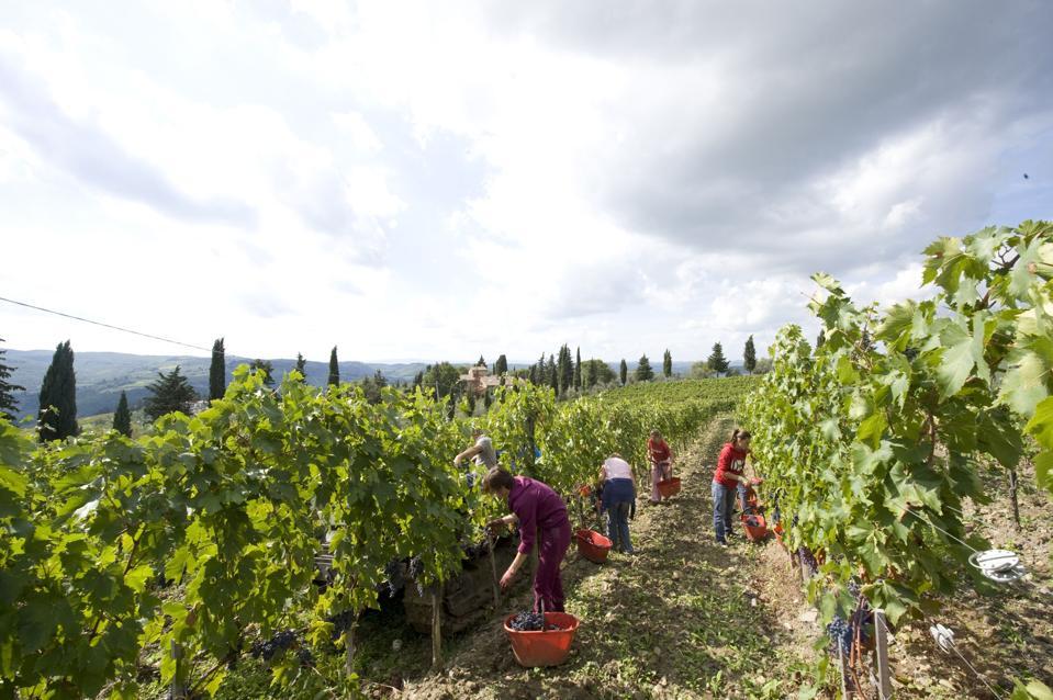 Grape pickers manually harvesting at Il Palagio di Panzano vineyard in Chianti
