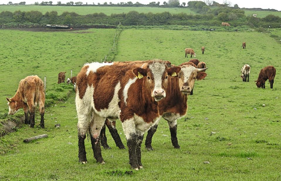 Cattle in Ireland