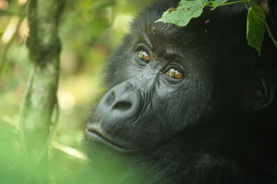 Gorilla trekking.  Virunga Mountains. Endangered species.
