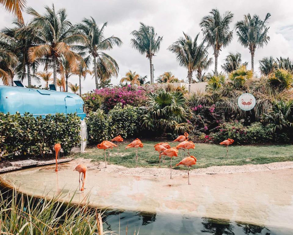 Flamingos on the beach at Baha Mar