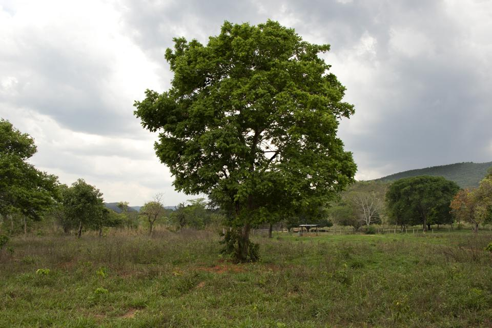 The Baruzeiro tree is fast disappearing from Brazil's Cerrado