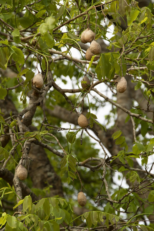 Fruit of Brazil's Baruzeiro tree