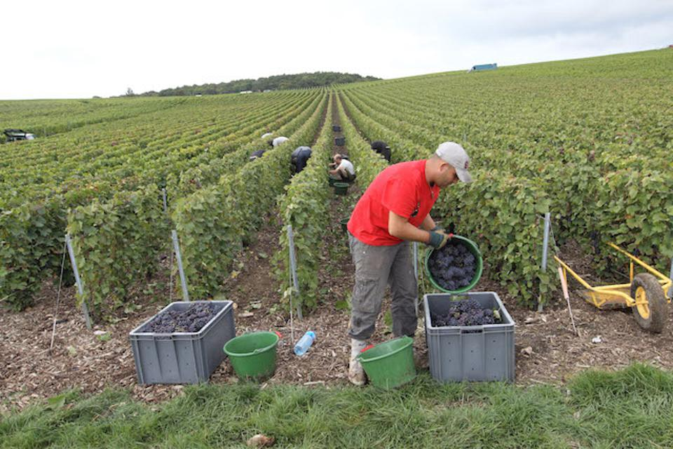 Harvesting the grapes for Champagne