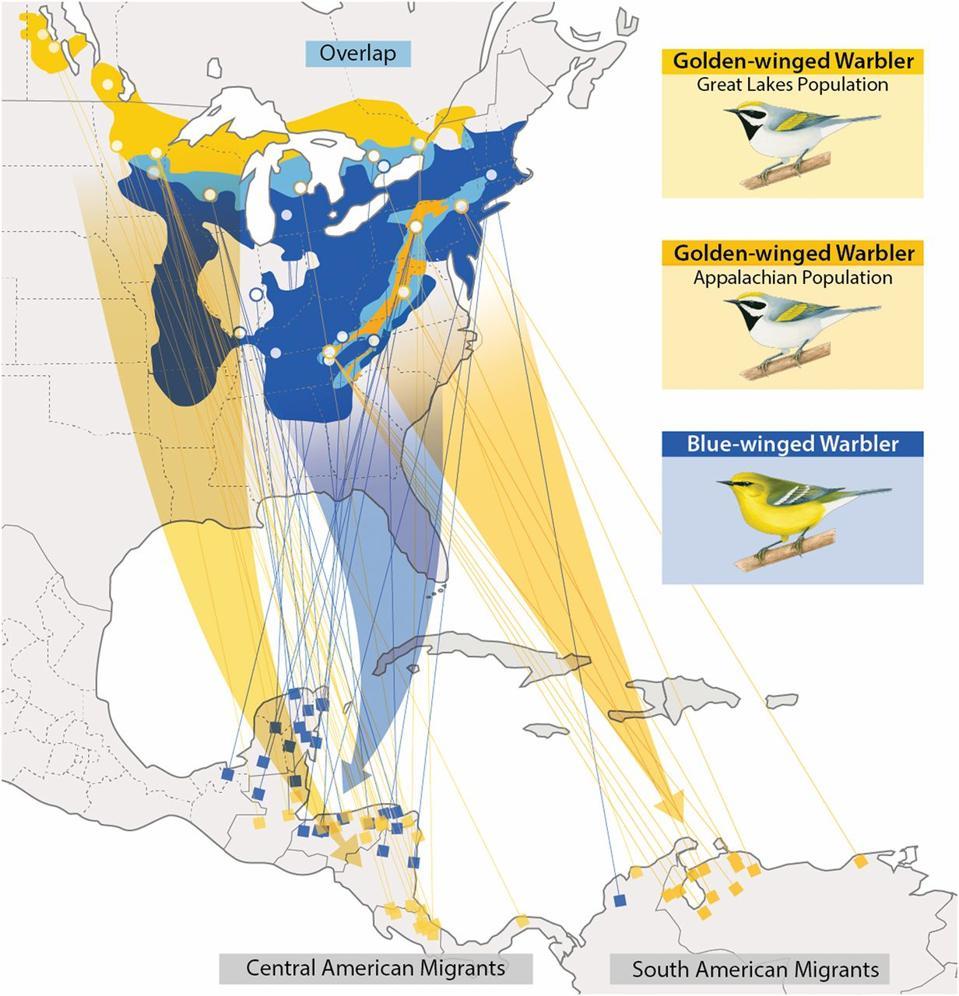 Vermivora warbler ranges and migratory pathways