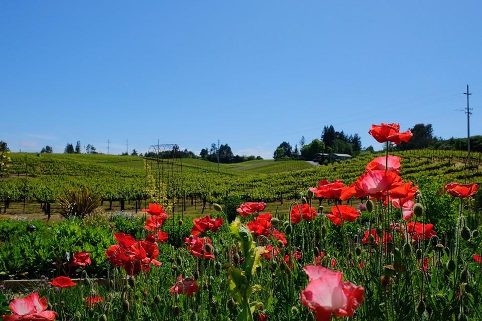 Lynmar Estate's Quail Hill Vineyard Framed by Poppies in Their Garden