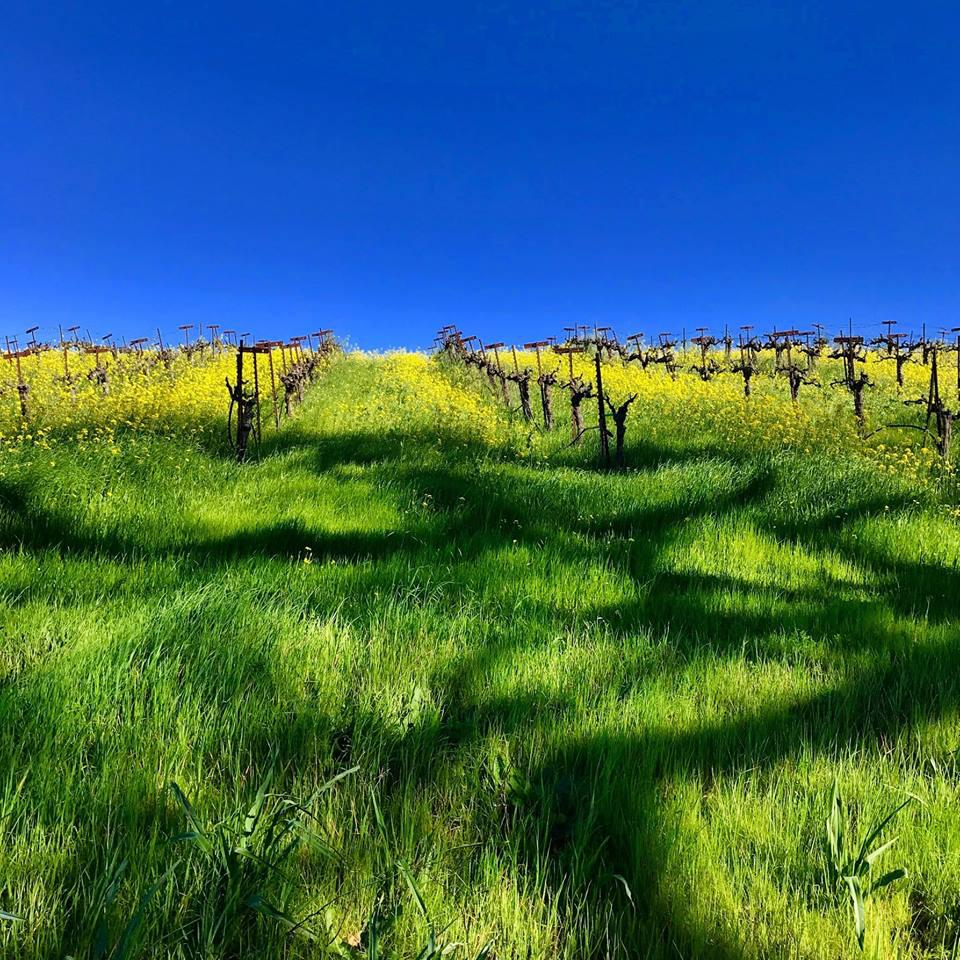 Dutton-Goldfield Winery Vineyards during Spring