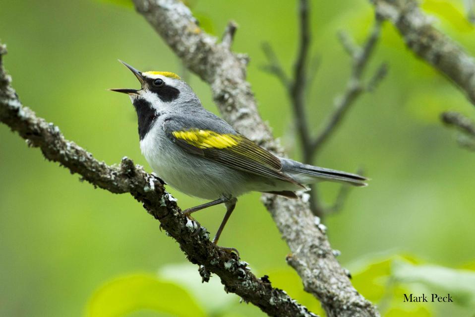 songbird golden-winged warbler mark peck