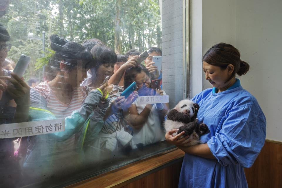 A caretaker cradles a young panda by the window of Bifengxia's panda nursery for visitors to view while touring the facility. (AMI VITALE/National Geographic)