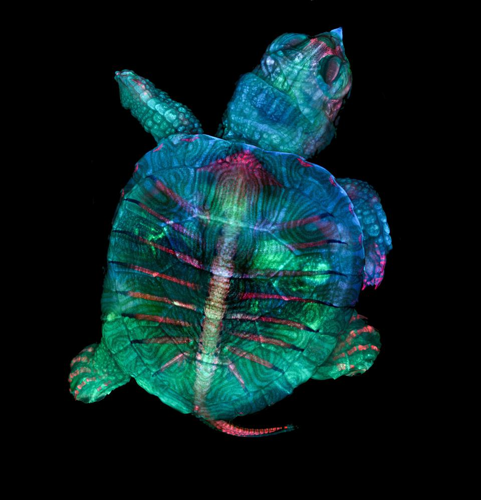 Autofluorescence image of a turtle embryo