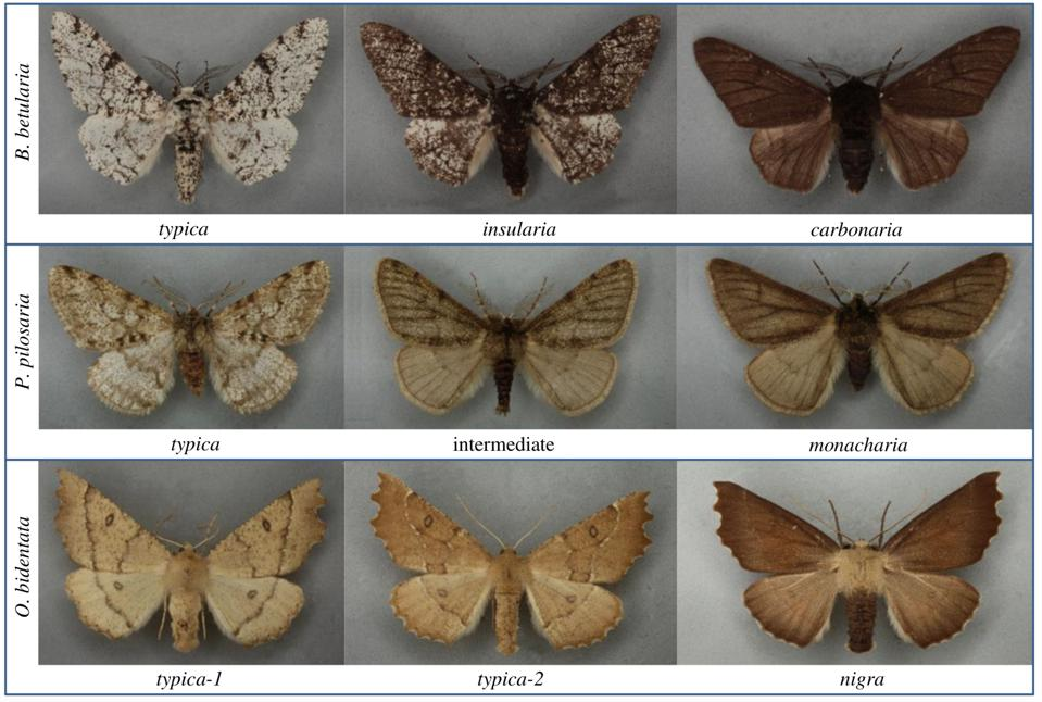 Colour morphs of three species of British moths, including industrial melanism