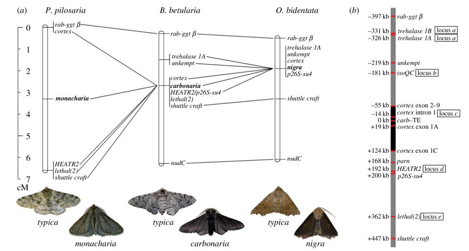 Genetic mapping of industrial melanism gene in Lepidoptera