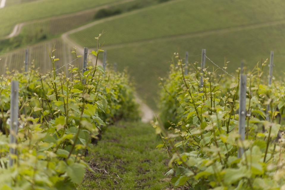Henri Giraud vineyards
